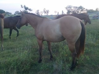 Quarter Horse in Queensland