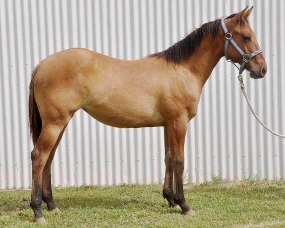 Quarter Horses in Queensland