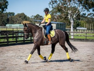 Black Warmblood Gelding Superfine Diamond