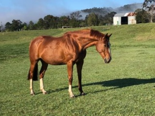 Broodmare with stunning eventing bloodlines