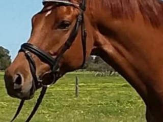 5 yo Warmblood x gelding