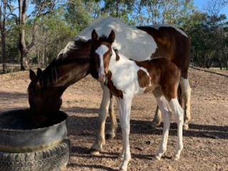 WB broodmare with coloured filly at foot