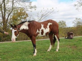 2008 Paint Gelding, One of a Kind