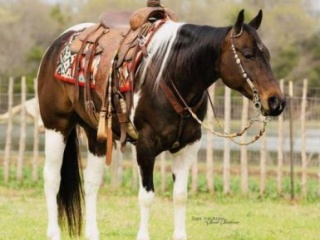 Mounted Shooting Tobiano Paint Gelding