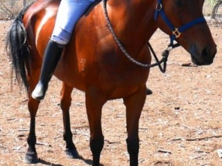 STATELY: SWEET, PLACID BOMBPROOF BEGINNERS HORSE