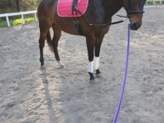 Thoroughbred gelding dark brown 16.2hh