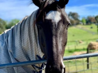 Outstanding Black Warmblood Mare