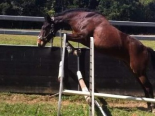 Proven warmbloods broodmare for sale