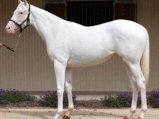 WANTED TO BY PURE WHITE 15-17 HANDS STALLION
