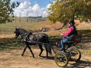 12.2hh 6yo ARP X Welsh harness and saddle pony