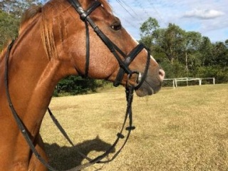 WARMBLOOD X Allrounder Mare - A special horse