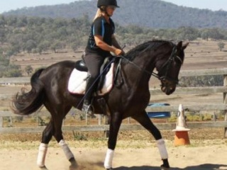 Rivers Rockin It - 4yo warmblood gelding