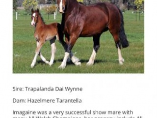 Champion Welsh D Broodmare Sale or Lease