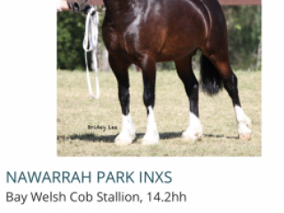 Broodmares - Welsh Section D in Western Australia