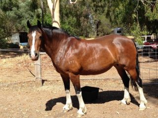 Champion Welsh D Cob broodmare for sale or lease