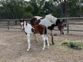 Sos mare & filly foal