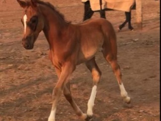 Warmblood mare with filly foal