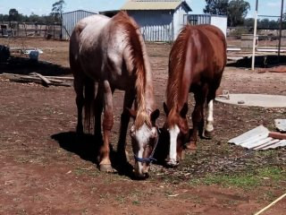 Two lovely horses looking for a new home