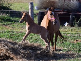 red dun QH colt