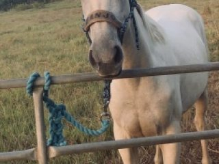 Flashy 2 year old QH BANJO