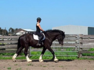 CHARMING CHARLIE 4YR CLYDESDALE X SHIRE GELDING
