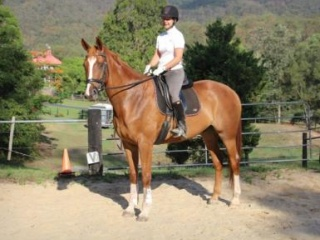 Warmblood Gelding 17.2 h. Dressage/eventing
