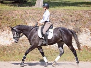 Dream Interschool Mount or Dressage/Show Hack