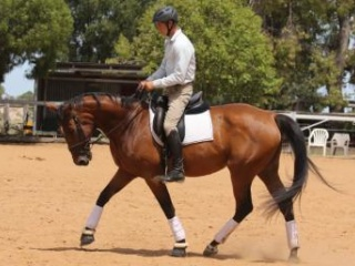16.3hh Warmblood mare - project horse or brood mar