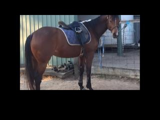 Beauty and Brains TB/QH Bred to perform