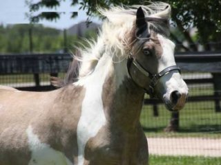 Gypsy horse in New South Wales