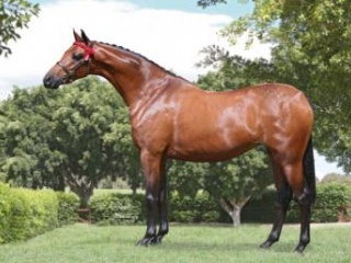 Riding Pony and Part Bred Welsh Broodmare