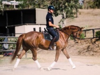 MUST SELL !!!! Talented WB mare !!!