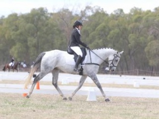 prefect Dressage Mount