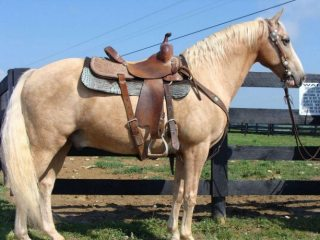 Death Droke & Easy Going Kentucky Mountain Gelding.