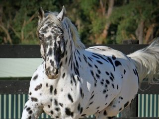 Gentle and Classic Leopard Appaloosa Gelding Available.
