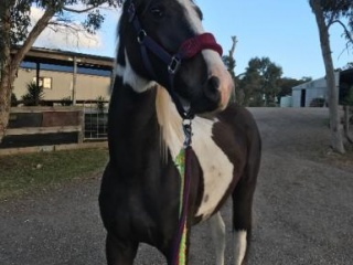 Stunning 2yo coloured Warmblood