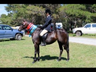 Riding pony broodmare or companion
