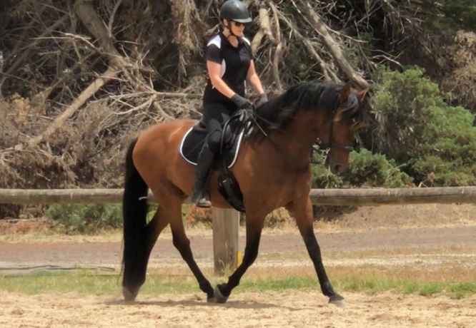 Big and beautiful Andalusian PRE gelding 16.3hh