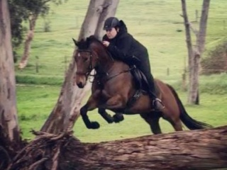 15hh QH x SH 9 year old mare