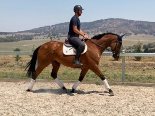 Fudge ~ Talented performance Thoroughbred