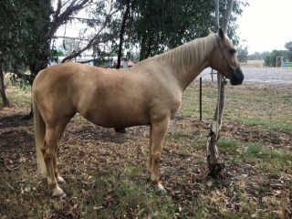 REGISTERED ASH COLDSTREAM GOLDEN GIFT 15.3½ hh 12 years old. SOLD