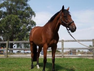 Lovely Thoroughbred Gelding