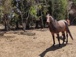 Australian Stock Horse mare, 6 years old