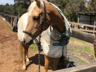 Goldmine Classic palomino Filly