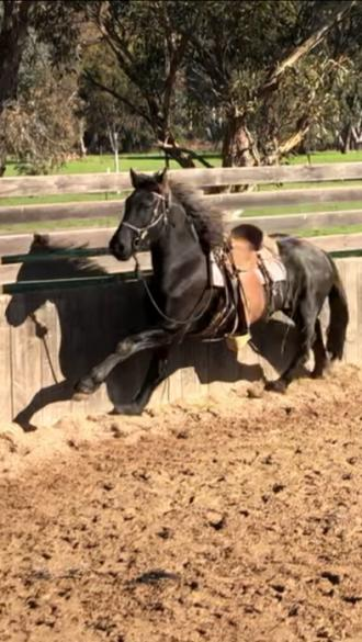 Full Friesian Gelding
