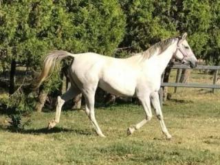 Registered Endurance Bred Arabian Mare