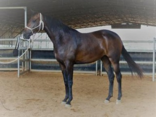 Registered Riding Pony