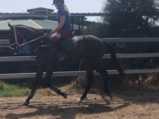 Unraced throughbred
