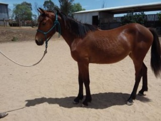 Welsh C x warmblood yearling pony