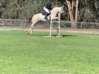 Easy going, fun, well-bred Grey Alrounder